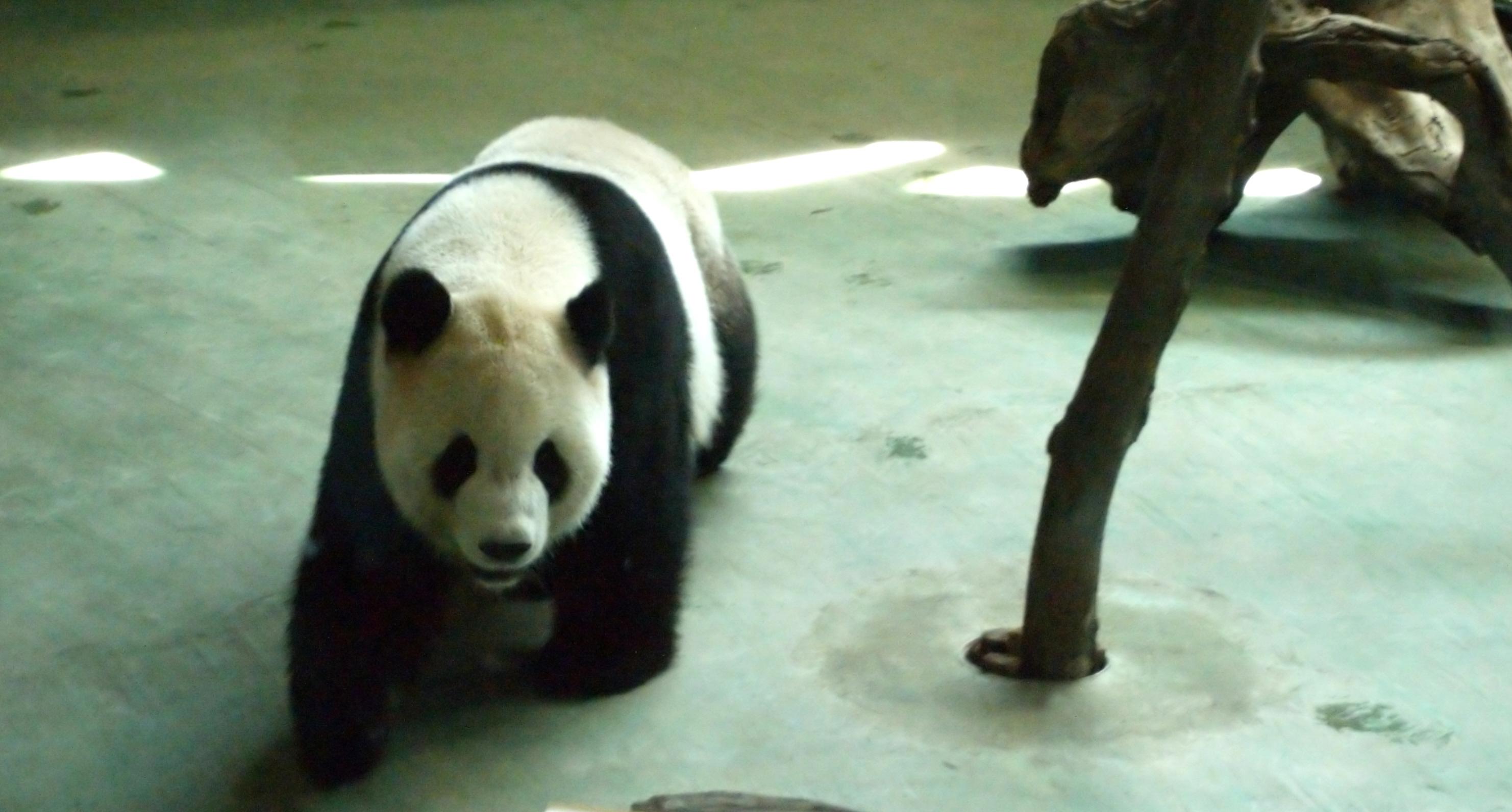 Giant Panda Taipei Zoo